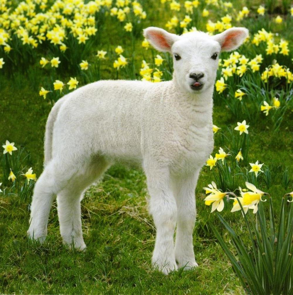 Easter Lamb Pictures the 20 Best Ideas for Easter Spring Lamb Graphic Greeting Card