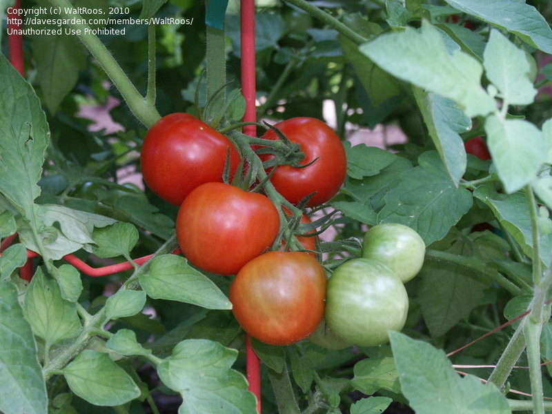 Fourth Of July Tomato  PlantFiles Tomato Fourth of July Lycopersicon