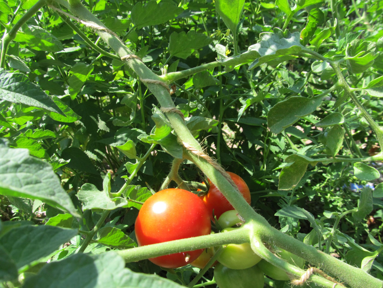 Fourth Of July Tomato  Fourth of July Tomatoes