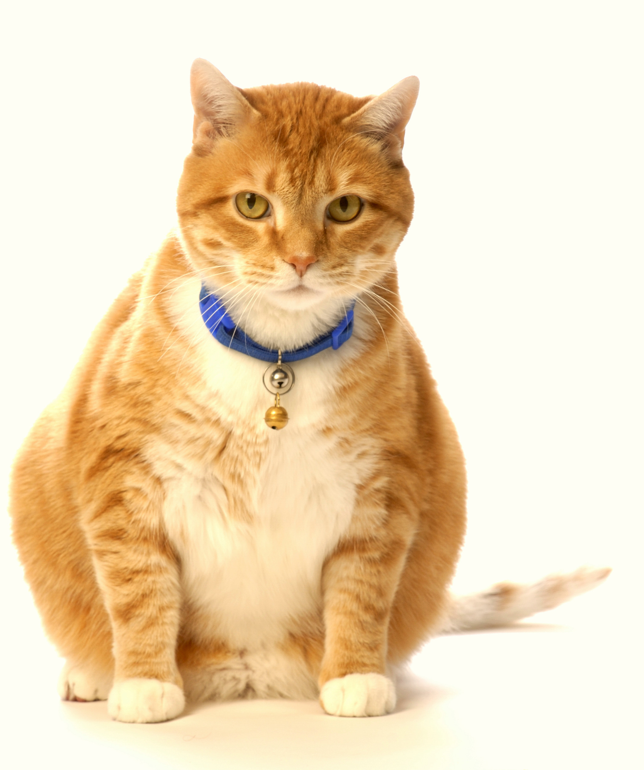 Healthy Cat Snacks  No More Fat Cats The Search for Healthy Cat Treats