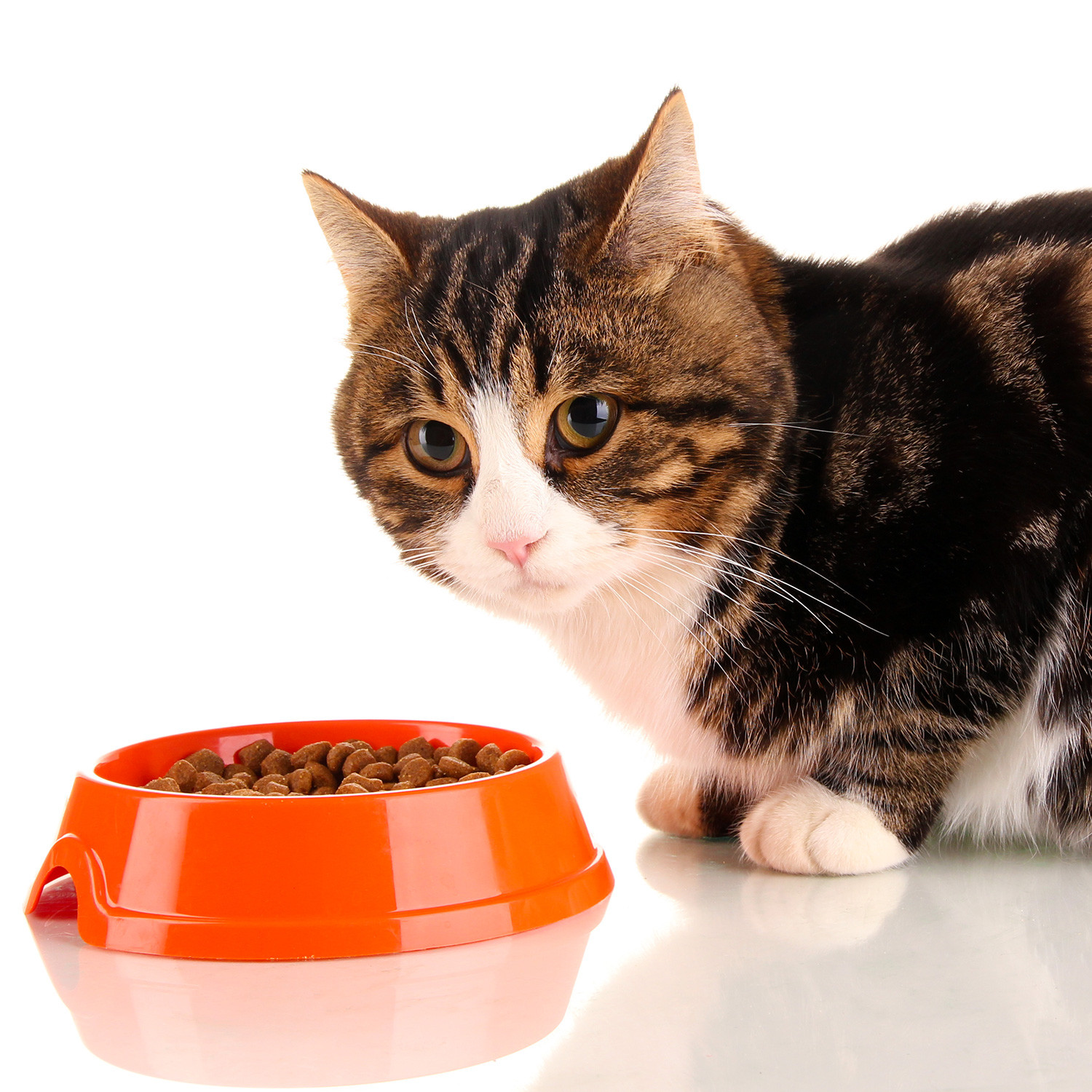 Healthy Snacks For Cats  Cats Choose Healthy Food Over Flavor Prospect Pet Sitting