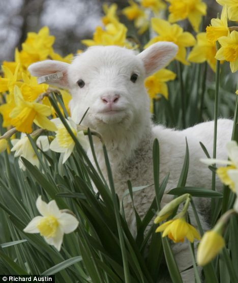 Lamb For Easter  17 Best ideas about Baby Lamb on Pinterest