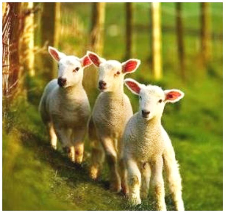 Lamb For Easter  31 best images about Butter lamb on Pinterest