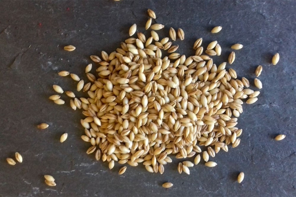 Organic Barley Seed  Organic Naked Barley Seeds for Sprouting