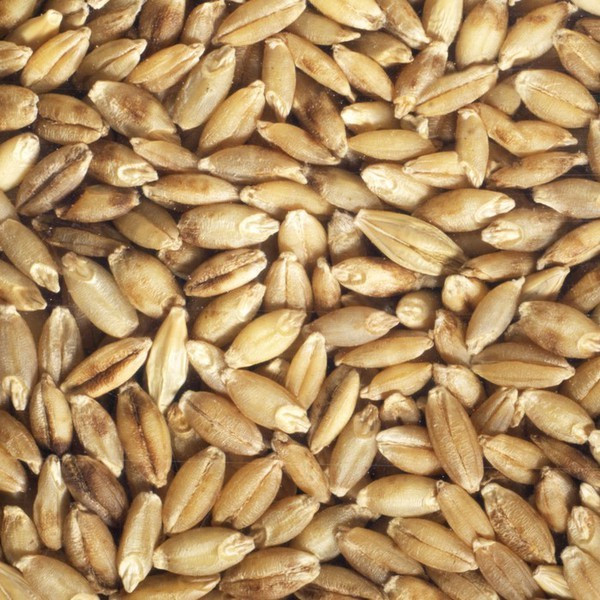 Organic Barley Seed  Organic Barley Seeds To Sprout Germline