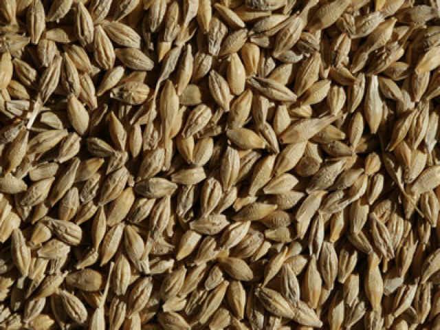 Organic Barley Seed  organic barley grass seed for home juicing