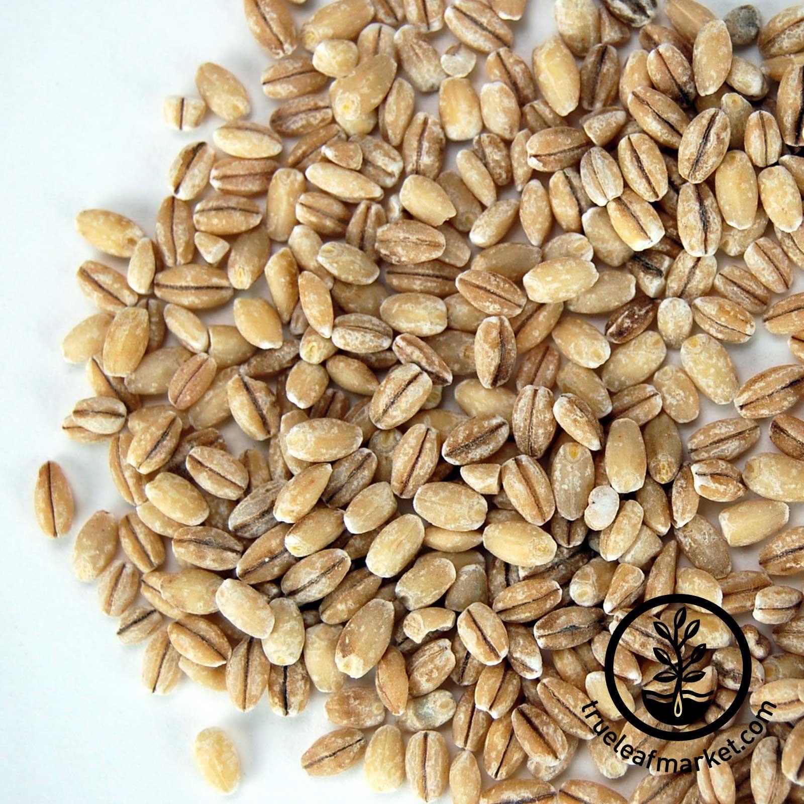 Organic Barley Seed  Organic Sprout Seed