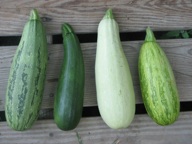 Summer Squash Varieties  Trailing and Vining Zucchini liseed Project