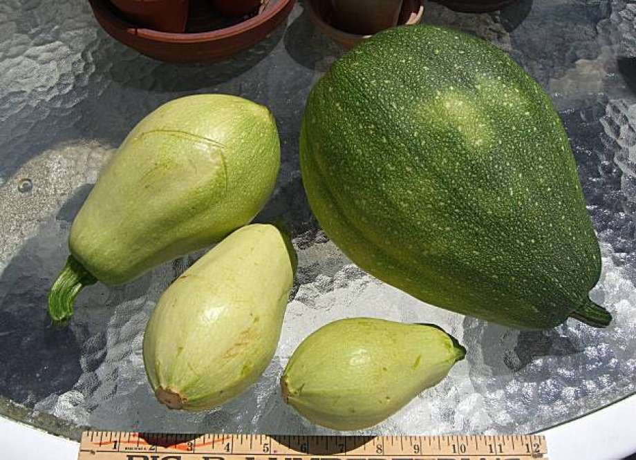 Types Of Summer Squash  Kutas are edible whether young or more mature SFGate