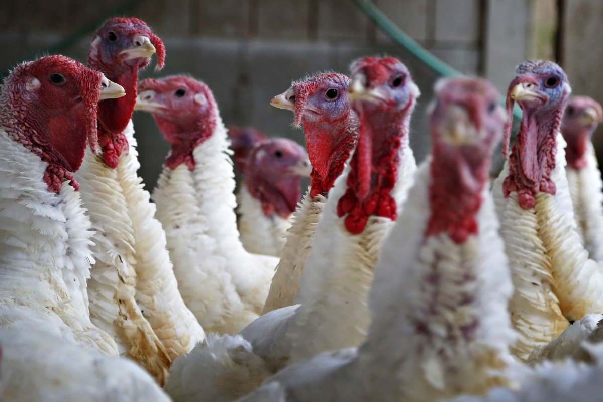 Average Size Turkey For Thanksgiving  Thanksgiving 2014 Turkey Size Doubles as Demand Hits Roof