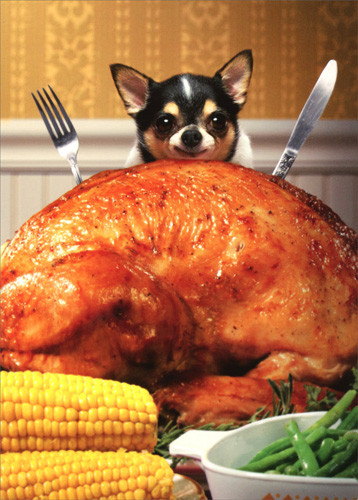 Biggest Thanksgiving Turkey  Little Dog Behind Big Turkey Funny Chihuahua Thanksgiving