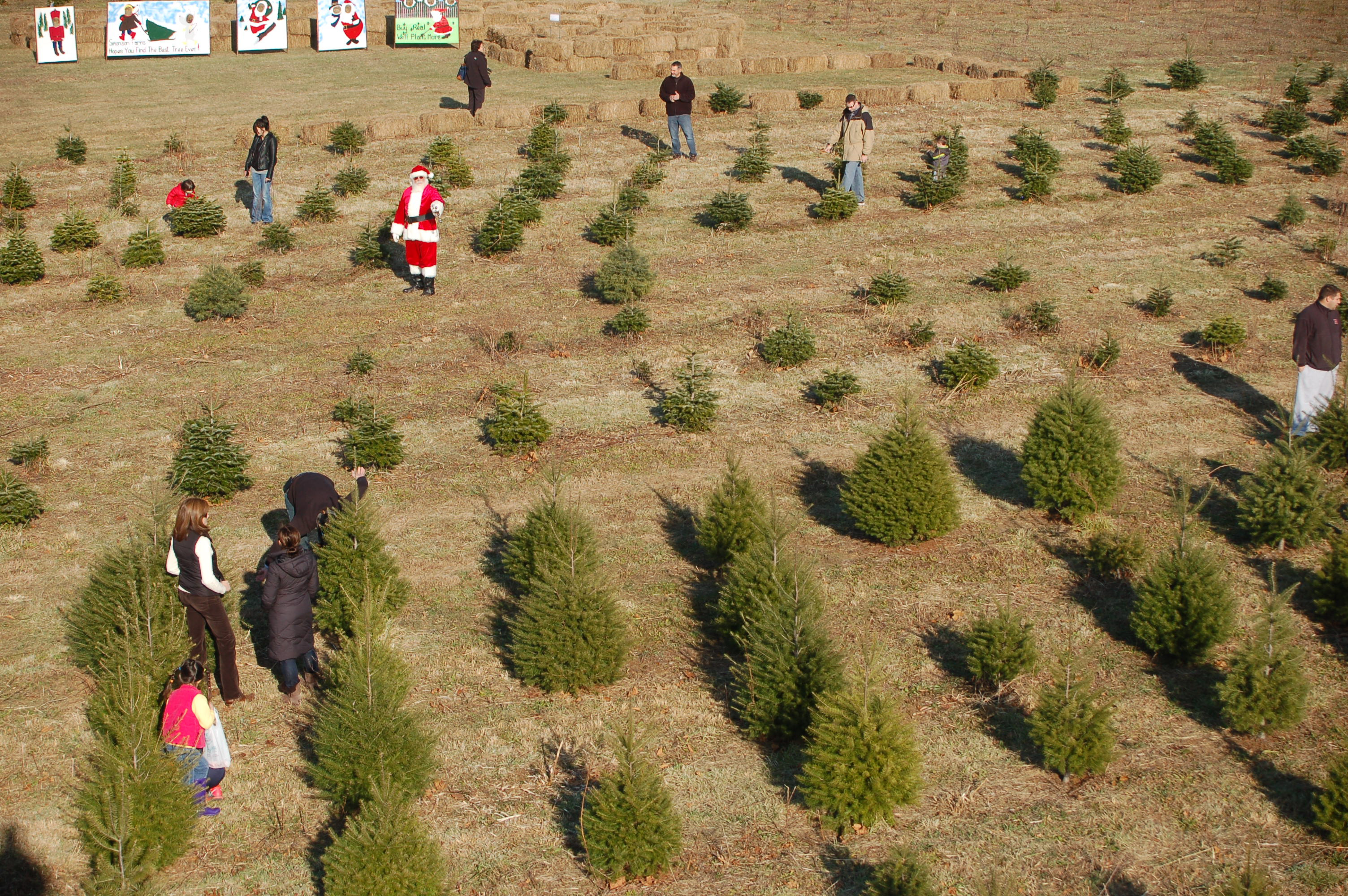 Candy Cane Christmas Tree Farm  DSC 5759