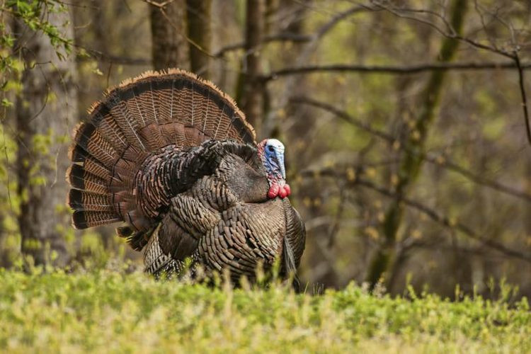Catching The Thanksgiving Turkey  How to Catch a Wild Turkey Gone Outdoors