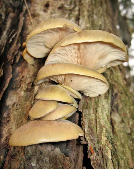 Fall Oyster Mushrooms  4 spots left