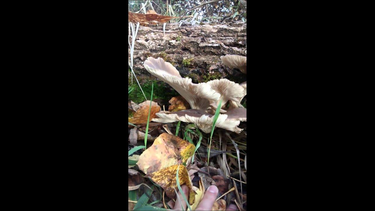 Fall Oyster Mushrooms  Fall Aspen Oyster Mushrooms Pleurotus Populinus
