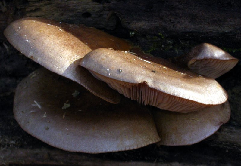 Fall Oyster Mushrooms  The Ohio fungiphage need not go hungry even in late fall
