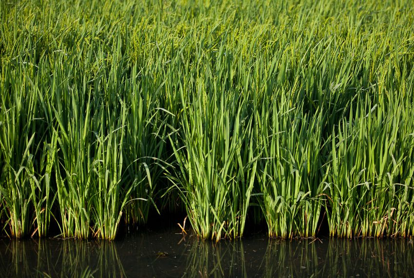 Fall River Wild Rice  Barriers Placed in San Marcos River to Protect Wild Rice