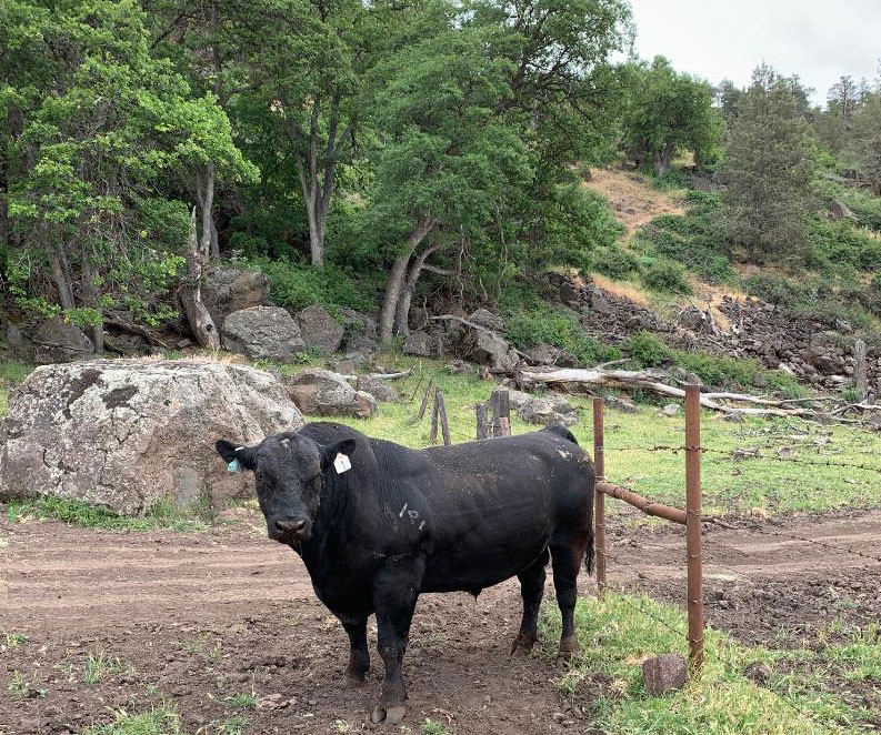 Fall River Wild Rice  Vestal Ranch Black Angus Cattle Wild Rice & Hay Fall
