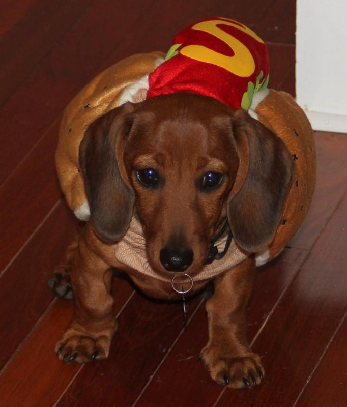 Hot Dog Halloween Costumes For Dogs  Dachshund puppy in a hot dog costume too cute