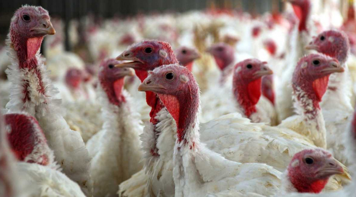 Turkey Shortage For Thanksgiving  Turkey Shortage Price Increase May Mean Bleak