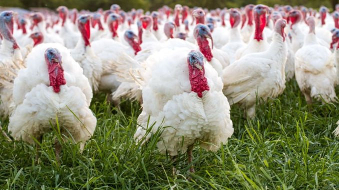 When To Buy A Fresh Turkey For Thanksgiving  Where to Buy a Farm Fresh Turkey in Central NJ