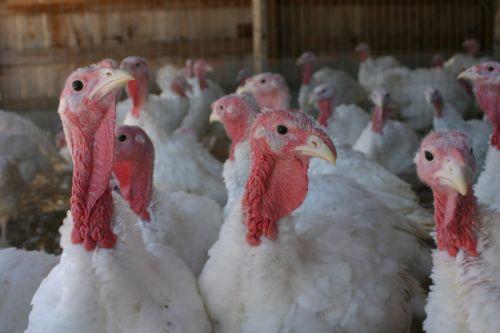 When To Buy A Fresh Turkey For Thanksgiving  Farm Fresh Turkeys in Bucks County