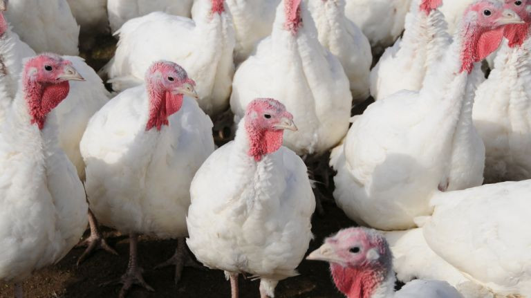 When To Buy Fresh Turkey For Thanksgiving  Where to a fresh Thanksgiving turkey on Long Island