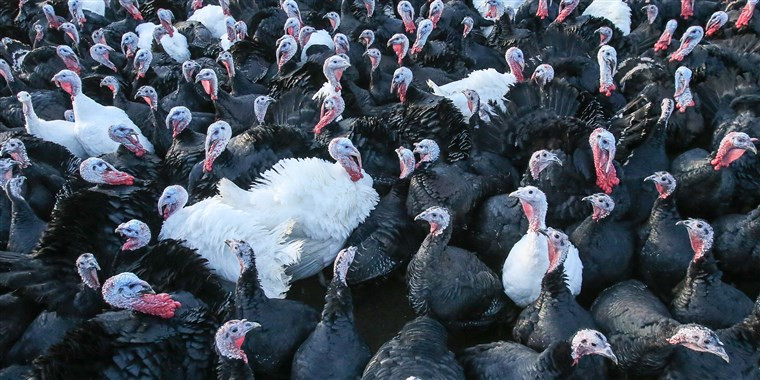When To Buy Thanksgiving Turkey  How to the best turkey for Thanksgiving