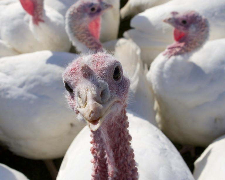 Why Do We Eat Turkey For Thanksgiving  Why Do We Eat Turkey on Thanksgiving
